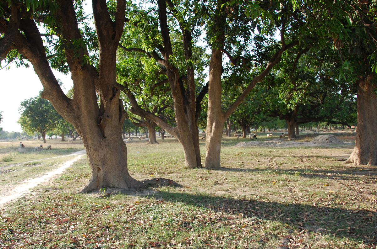 Mango Tree Garden en de architect