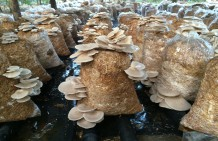 Mushrooms and cow dung make women self-sufficient